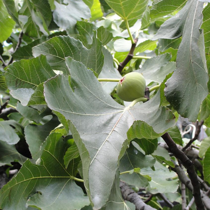 Zelené fíky