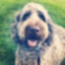 Labradoodle puppies Iowa, Hypoallergeneic