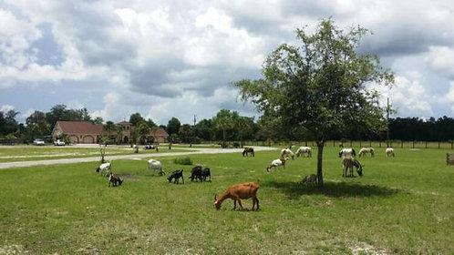 🎄Dwarf Goats 22nd Dec