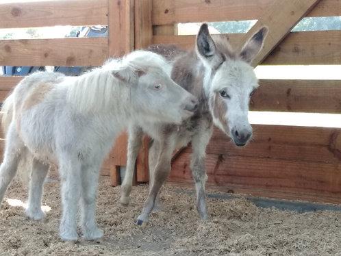 4/19 Mini Horses Donkeys ⭐Baby's Teens Stud