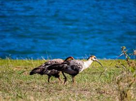 Avistamiento de aves en Marina Colbún