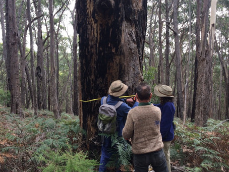 BEAM's Save the Tallarook Forest campaign: an ancient old growth forest