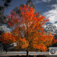 Trees-Open-HC-John Gwyther-Flame.jpg