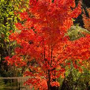 Trees-Open-HC-Tania Knight-Red Beauty.jp