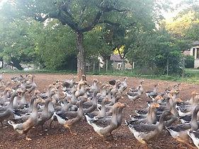 Les oies ou canards gras, pour les foies gras