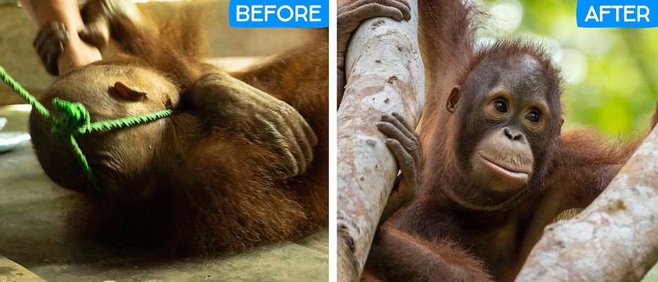 Kukur before and after.jpg