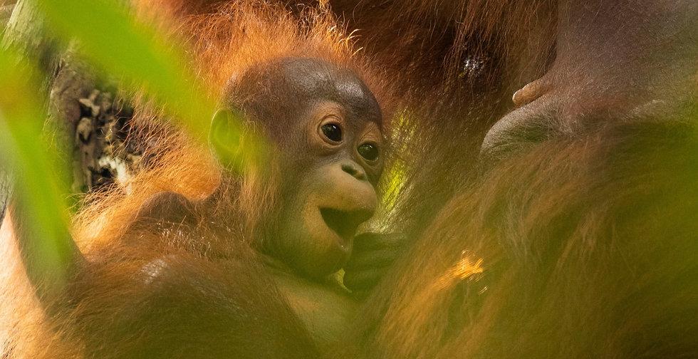 orangutan.indonesia.susi.sinar.release.r