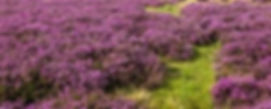 heather%20%26%20moor_edited.jpg
