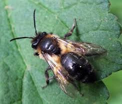 The British Black Bee Association
