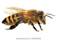 Hope that honey bee venom could help cure some cancers