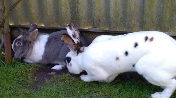 kaninchen nham 1-7.jpg