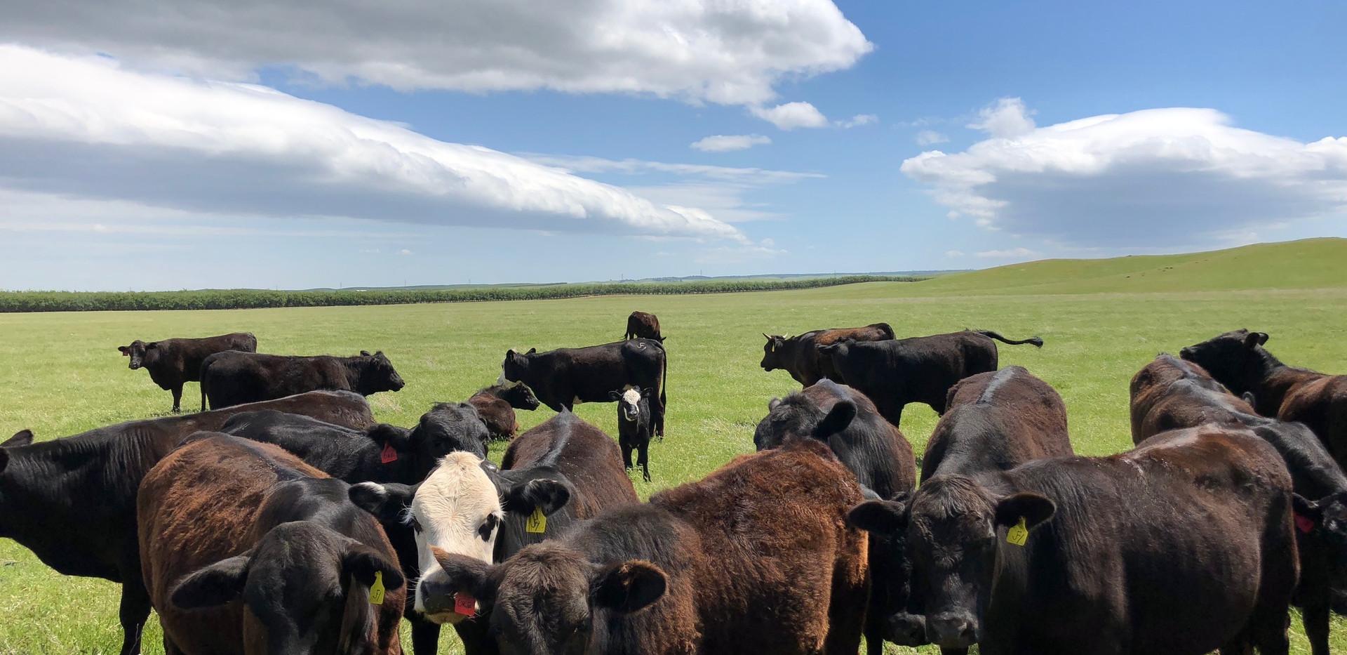 Yearlings on Spring Pasture