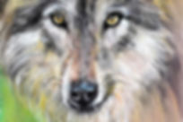 """The Mixed Media painting is titled """"Born to be Wild"""" and is a portrait of the Gray Wolf. Limited edition prints of the original painting are available to order. Wolves are the ancestors of your everyday dog and were once on the verge of extinction. Their color can vary from all-white to all-black, with every shade in between. The gray wolf has always been a favorite subject of mine. The best statistics I can get tells me that there are a mere 12,000 of them remaining in the wild. Thankfully, though, they now populate regions of the Great Lakes, Rockies and certain parts of the Southwestern United States. The painting shown here was done in pastel and colored pencils. As creatures who are social and hunt in packs, I wanted to lock the viewers to their eyes and perhaps discover some connection to our fast eroding humanity. As a species that bears a complex system of communication that ranges from barks and whines to growls and howls, they're as intelligent as they're formidable."""