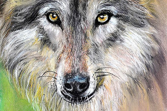 "The Mixed Media painting is titled ""Born to be Wild"" and is a portrait of the Gray Wolf. Limited edition prints of the original painting are available to order. Wolves are the ancestors of your everyday dog and were once on the verge of extinction. Their color can vary from all-white to all-black, with every shade in between. The gray wolf has always been a favorite subject of mine. The best statistics I can get tells me that there are a mere 12,000 of them remaining in the wild. Thankfully, though, they now populate regions of the Great Lakes, Rockies and certain parts of the Southwestern United States. The painting shown here was done in pastel and colored pencils. As creatures who are social and hunt in packs, I wanted to lock the viewers to their eyes and perhaps discover some connection to our fast eroding humanity. As a species that bears a complex system of communication that ranges from barks and whines to growls and howls, they're as intelligent as they're formidable."