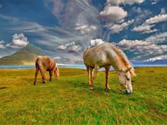 CRF Icelandic Horse (13).jpg