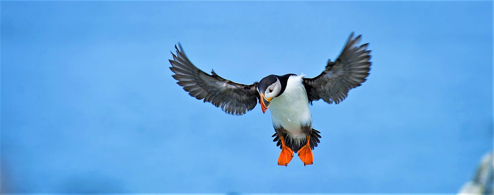 Kids love puffins, and here an Atlantic puffin tries to land near its nest in Iceland