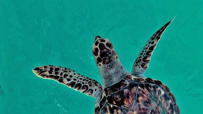 CRF Turtle (4).jpg