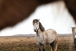 Closeup shot of an Icelandic horse's head