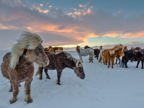 CRF Icelandic Horse (12).jpg