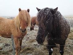 CRF Icelandic Horse (6).jpg