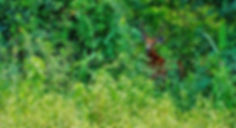An endangered reddish brown, black-legged marsh deer, scientific name Blastocerus dichotomus, is startled as he runs off to a safe distance. IUCN lists the animal as vulnerable status. Unfortunately, being the largest deer in South America, they provide a reliable source of meat, which makes humans their largest predators. These deer have adaptations such as large hooves which make them swift swimmers, and like to live in swamps and marshes, and before a runaway human population threatened their existence through hunting and habitat destruction, their only natural predators were the pumas and jaguars, big cats that are themselves critically endangered in the age of the sixth mass extinction. They have struggled to adapt to their changing environments, becoming more nocturnal in nature in order to avoid human contact and moved to more mountainous regions with sparse human settlements. The deer live in isolated pockets in Peru and Argentina, but primarily south of the Amazon river.