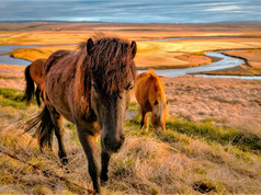 CRF Icelandic Horse (7).jpg
