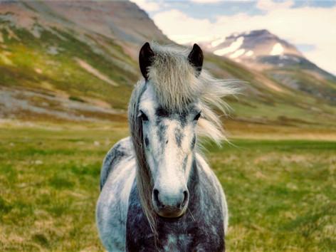 CRF Icelandic Horse (11).jpg