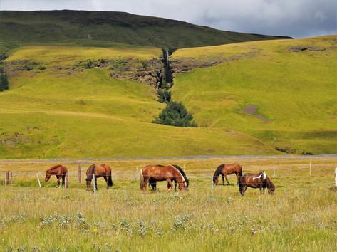 CRF Icelandic Horse (2).jpg