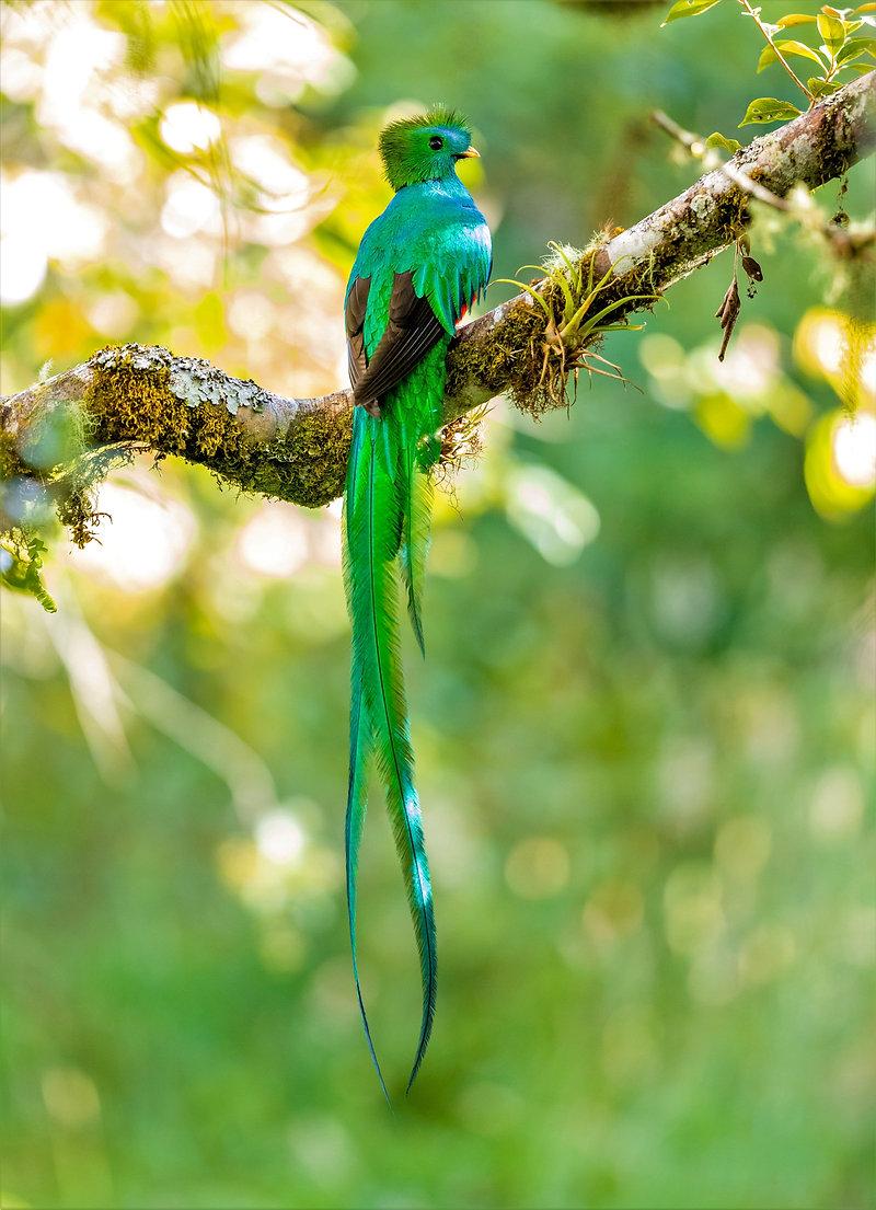CRF Resplendent Quetzal.jpg