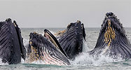 A closeup of several humpback whales feeding on krill in Icelandic waters