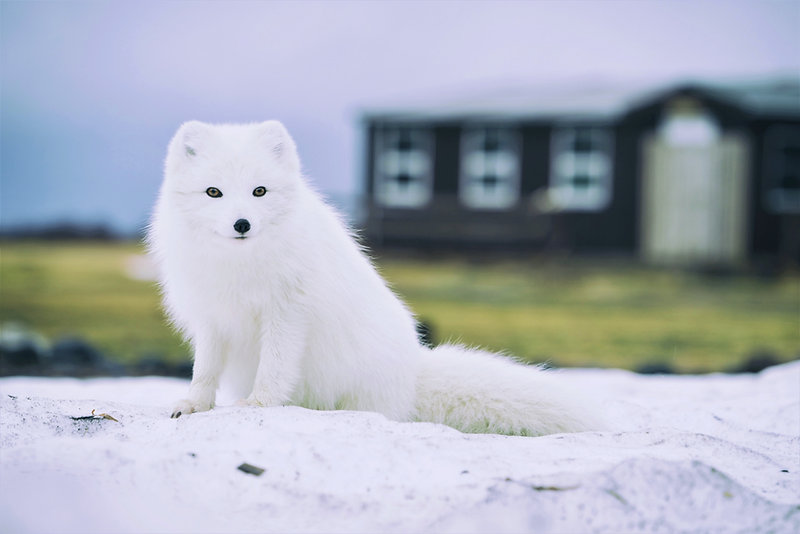 The extremely rare Arctic fox sits in front of a house in Iceland, and seeing it in the wild is sure to make the kids happy
