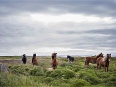 CRF Icelandic Horse (10).jpg