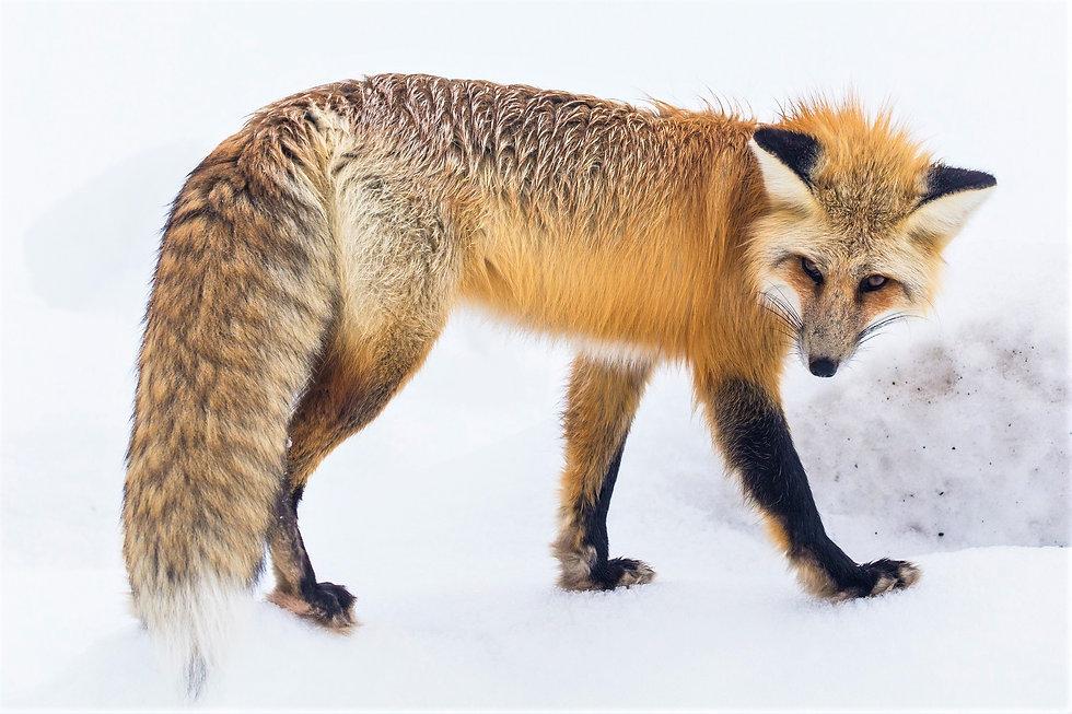 red-fox-2230734.jpg