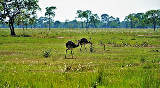 Two wild rheas walk in the open grasslands of Pantanal in the Mato Grosso state of Brazil. Like the ostriches of Africa and the emus of Australia, with whom they are genetically related, the rheas are flightless birds that live in South America. They are a familiar sight here in the Transpantaneira, where you can see many of the animals Brazil is known for. While the Amazon rainforest is where most tourists flock to, your best bet at seeing some of Brazil's wildlife is here in these marshlands.