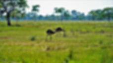 Two rheas walk the open grasslands of Pantanal, in the state of Mato Grosso of Brazil. The rhea is the largest bird in the western hemisphere and is a flightless cousin to the ostriches of Africa and the emus of Australia, with which they share a common ancestor that lived before the breakup of the tectonic plates. The rhea belongs to a supergroup of large, long-legged, flightless birds called Ratites. To best view these birds in the wild, you can drive down Transpantaneira, the main road that crosses the Pantanal, linking the city of Poconé to the small fishing town of Porto Jofre. On this road you'll come face-to-face with many of Brazil's wild critters, but keep in mind that it is a 100-mile long dirt road with no gas stations or food bistros along the way. More interestingly, it crosses no less than 122 wooden bridges, some of which are in a state of extreme disrepair. During the rainy seasons, this is a marshland that's usually impassable due to flooding of the low-lying areas.