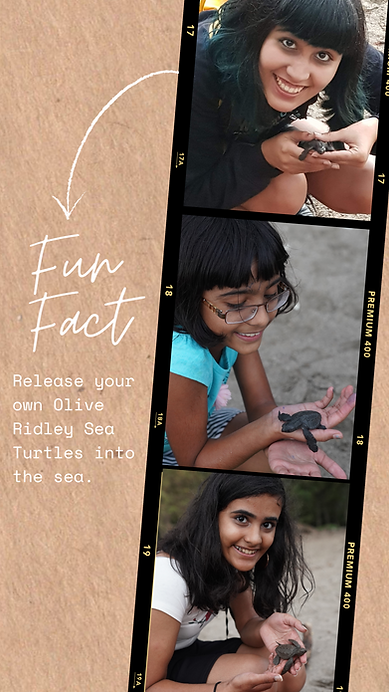 You can participate in the once-in-a-lifetime activity of releasing baby Olive Ridley turtles at the water's edge.