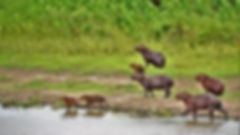 A family of capybaras, the largest rodents on the planet, steps out of the marshland with a watchful eye towards camouflaged caimans. The open grasslands of Pantanal, in the state of Mato Grosso of Brazil, is one of the few areas where you can see these animals up close in the wild. They look like overgrown beavers but are more closely related to guinea pigs. The capybaras are strong swimmers and adapted for a life in water. Partially webbed feet for paddling, long and brittle fur coats for drying out quickly, as well as eyes, ears, and noses located high up on their heads give them the ability to lie submerged in the water while maintaining a watchful eye at predators like the pumas, the jaguars, and the ubiquitous caimans. The capybara has been severely threatened due to hunting by people who go after their exotic skins, and some of the local populations have plummeted significantly. They're cute critters, and children love the short, shrill shriek they emanate when approached.