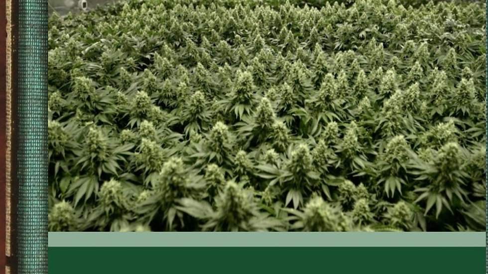 The Production of Medicinal Cannabis in Greenhouses