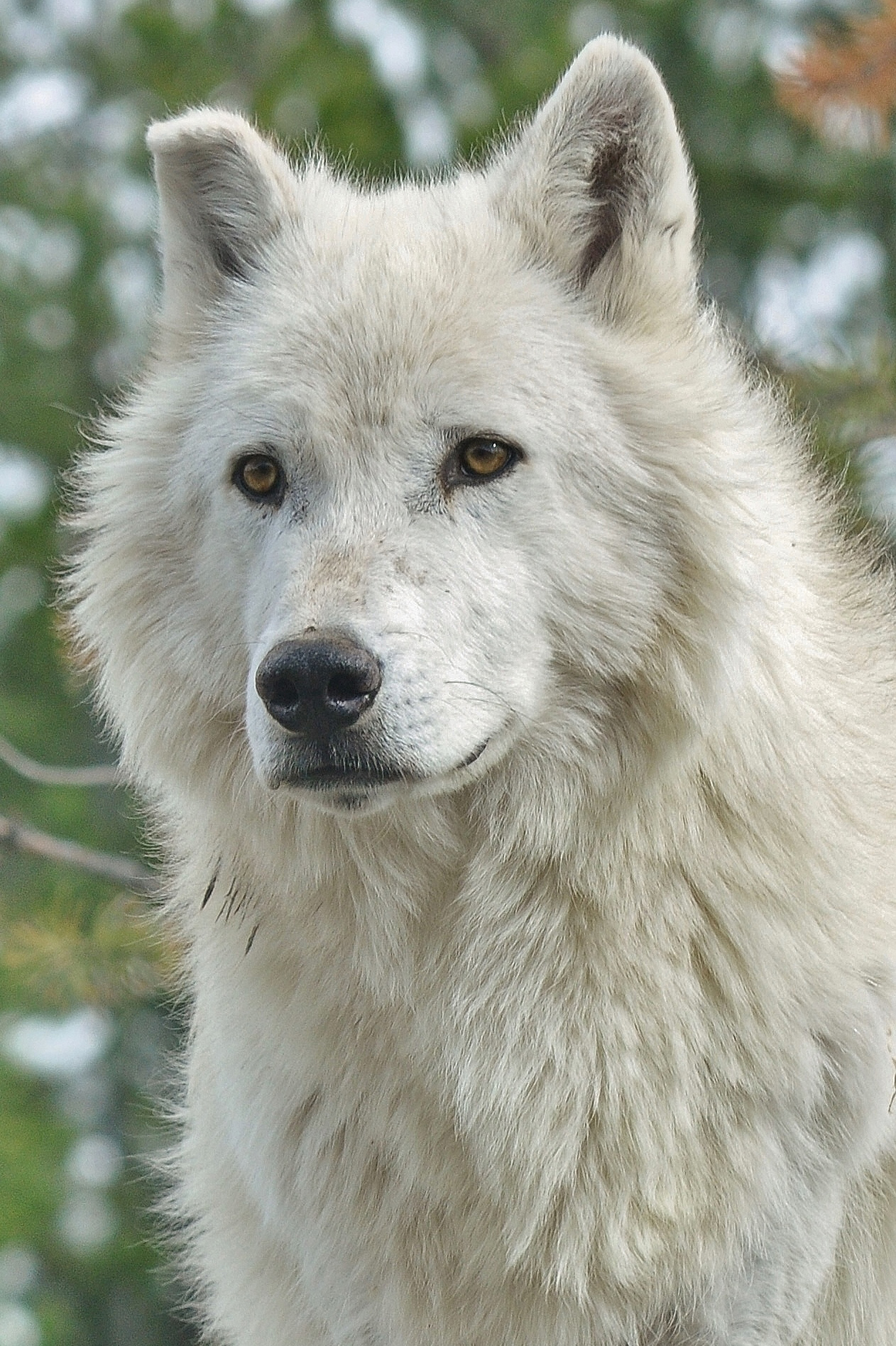 Grey Wolf, Yellowstone, WY