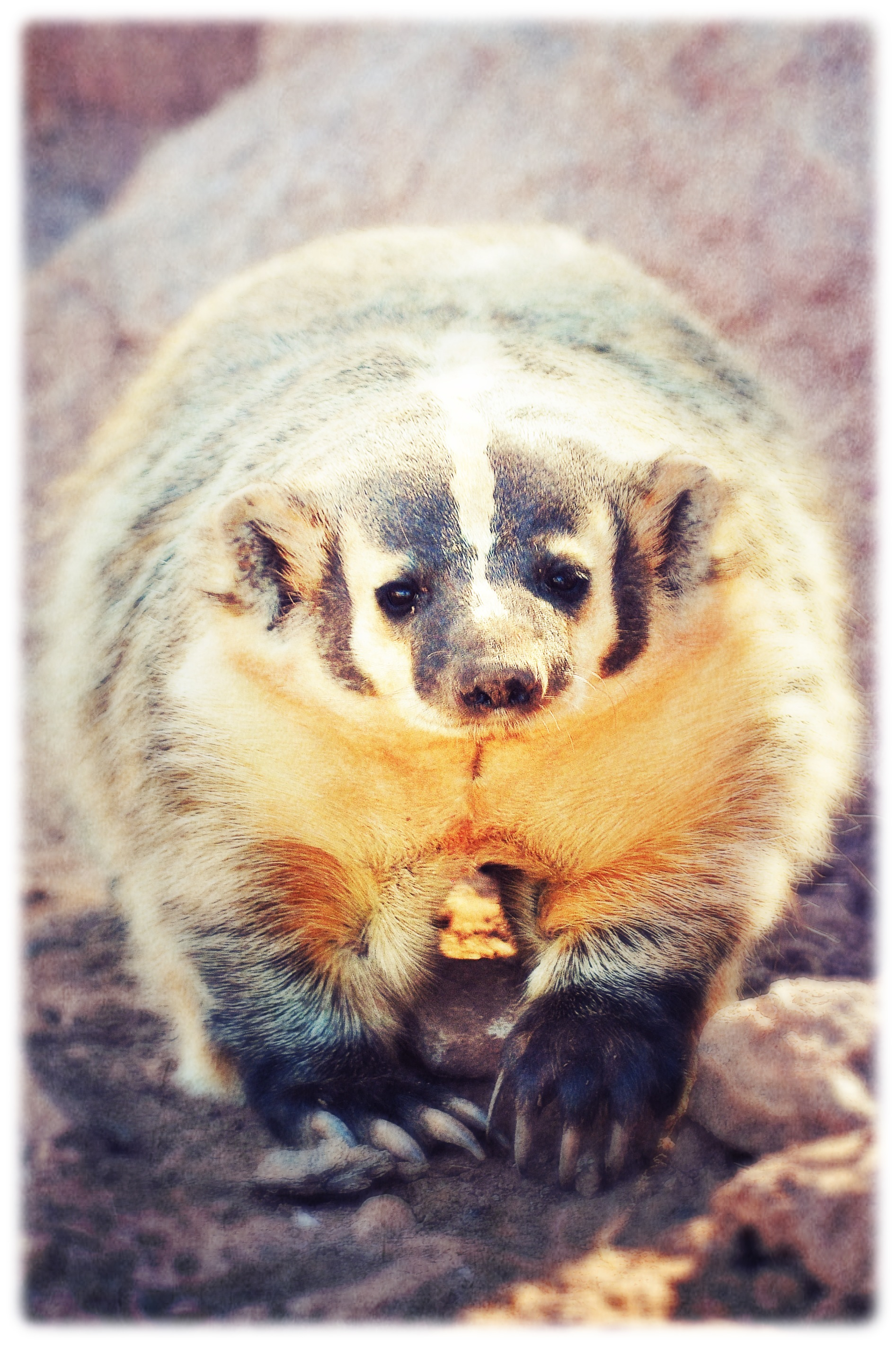Badger, Black Hills, SD