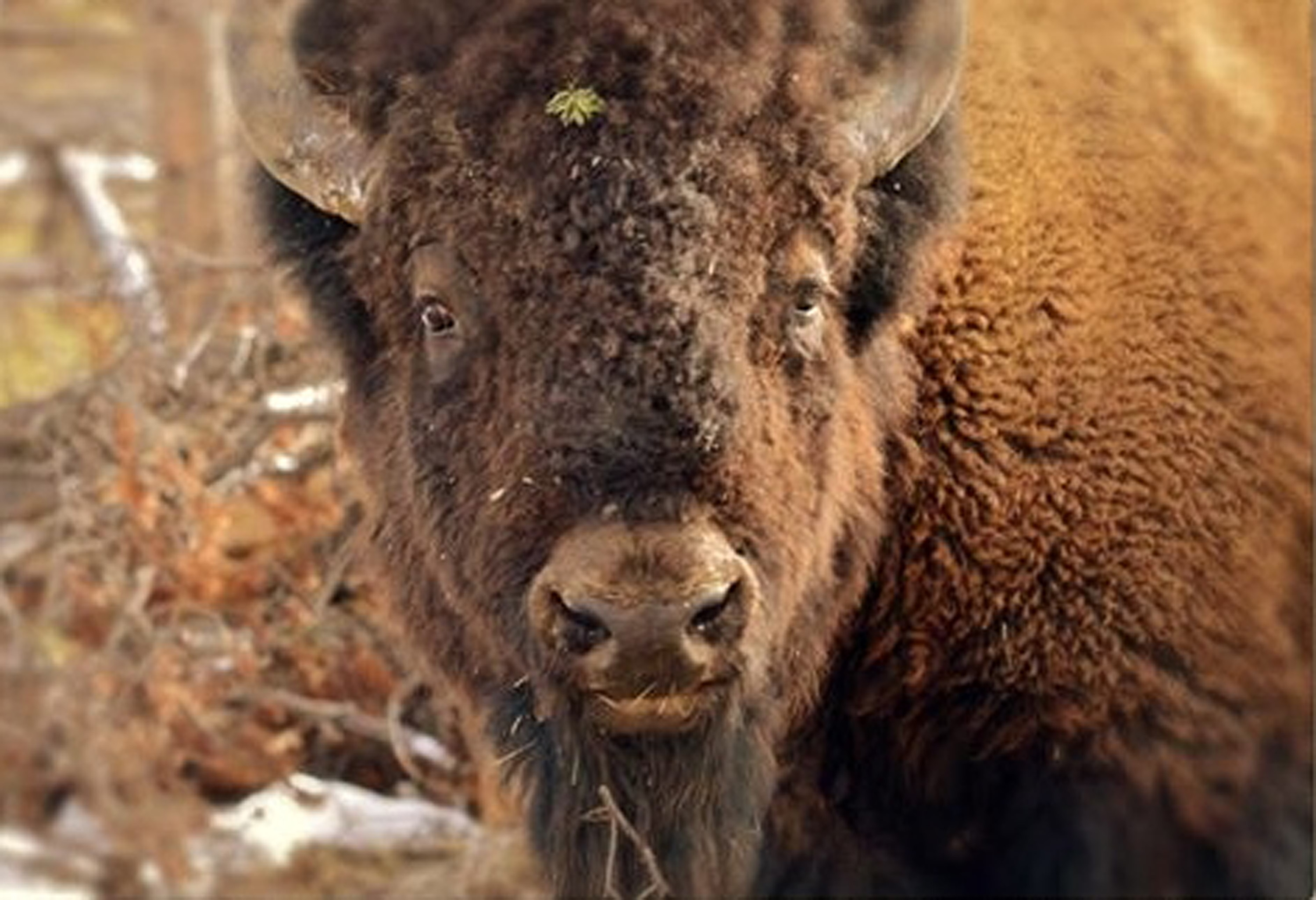 Buffalo, Yellowstone Park, WY