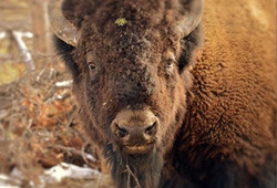 Buffalo, Yellowstone Park, WY
