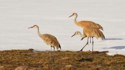 Sand Hill Cranes, Yellowstone, WY