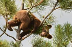 Black Bear Cub, Black Hills, SD