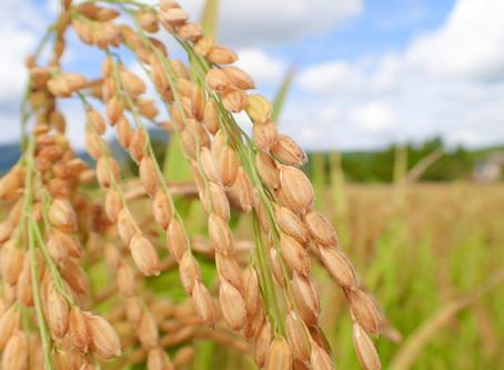 秋の収穫 稲刈りスタート