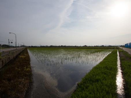 稲の成長は早い。