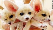 cutest-animal-1-fennec-fox.jpg