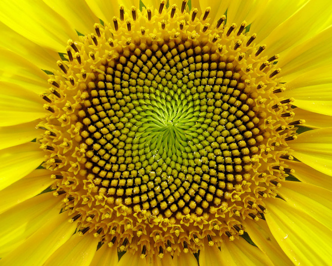 Sunflower_670