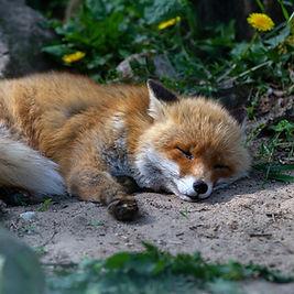 Fuchs, Waldfüchse, Baumfüchse