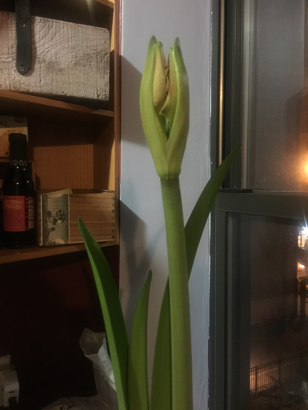 amaryllis buds near-bloom stalk pink stripe 2017 kitchen
